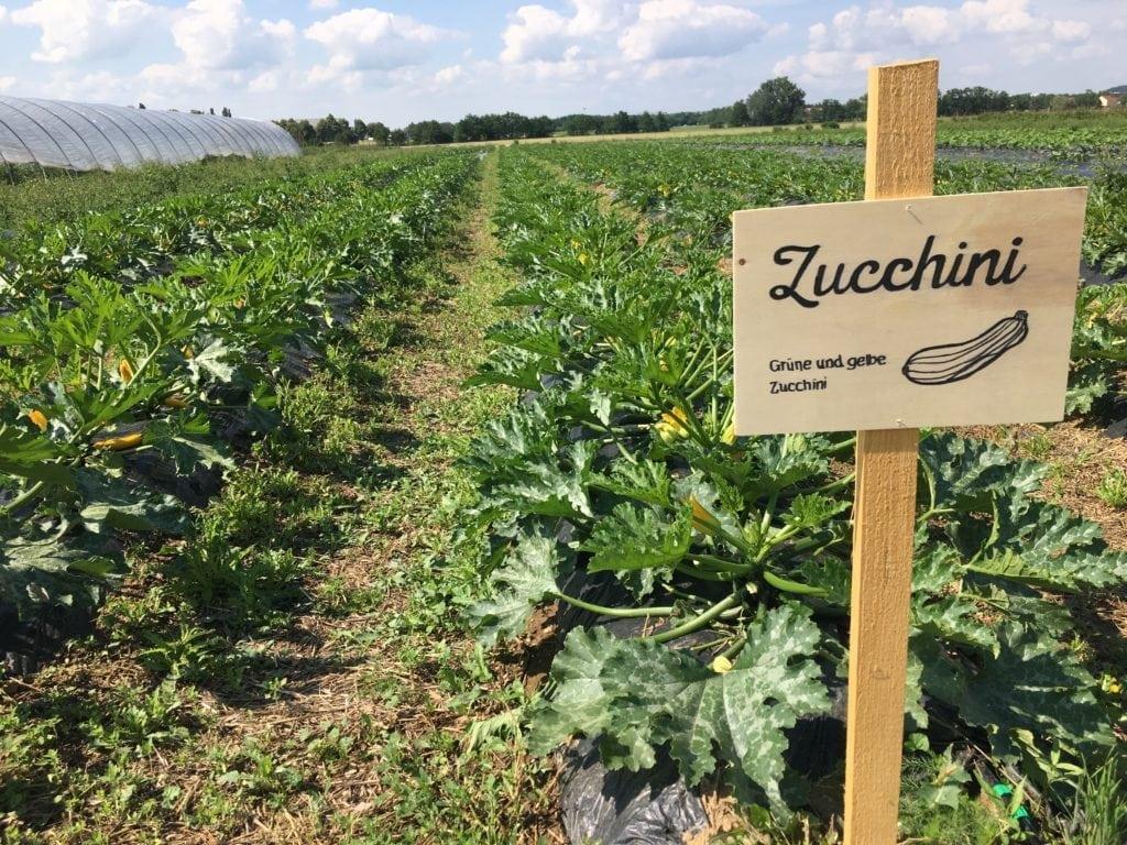 Zucchini zum Selberernten